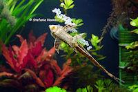 foto 3: Sturisomatichthys tamanae