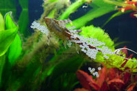 foto 4: Sturisomatichthys tamanae