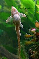 foto 10: Sturisomatichthys tamanae