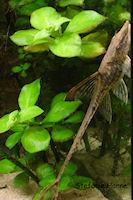foto 11: Sturisomatichthys tamanae