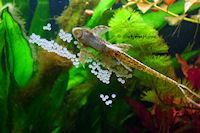 foto 6: Sturisomatichthys tamanae