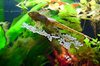 foto 7: Sturisomatichthys tamanae