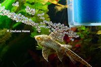 foto 8: Sturisomatichthys tamanae