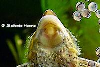 Bild 155: Sturisomatichthys tamanae