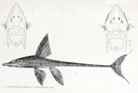 foto 12: Sturisomatichthys tamanae