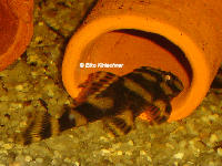 foto 11: Zonancistrus brachyurus/Dekeyseria picta (L168)