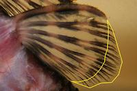 foto 7: Zonancistrus brachyurus/Dekeyseria picta (L168)