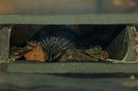 foto 8: Zonancistrus brachyurus/Dekeyseria picta (L168)