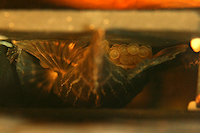 foto 9: Zonancistrus brachyurus/Dekeyseria picta (L168)