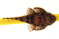 foto 10: Zonancistrus brachyurus/Dekeyseria picta (L168)