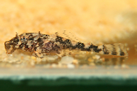 foto 19: Zonancistrus brachyurus/Dekeyseria picta (L168)