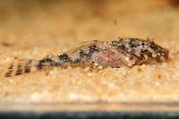 foto 21: Zonancistrus brachyurus/Dekeyseria picta (L168)