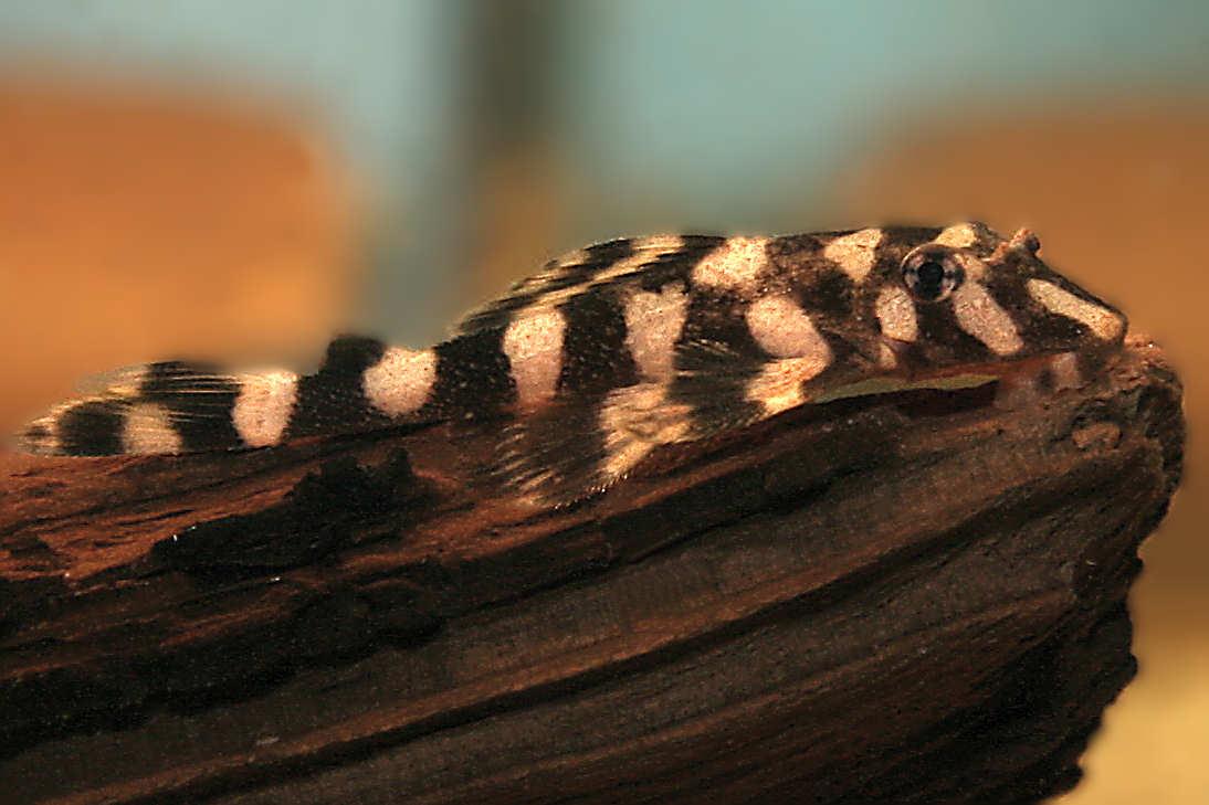 Zonancistrus brachyurus, Schmetterlingsharnischwels