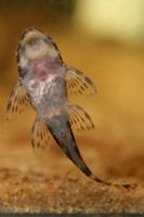 foto 25: Zonancistrus brachyurus/Dekeyseria picta (L168)