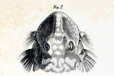 Zonancistrus pictus
