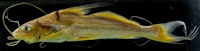 Bild 2: Cheirocerus eques