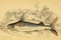 Bild 3: Platynematichthys notatus