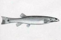 Henonemus macrops = Stegophilus macrops, Type