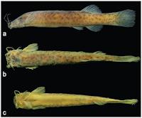 Bild 3: Ituglanis agreste, holotype, MNRJ 40196, 40.5 mm SL, Brazil, Bahia State, municipality of Boa Nova, rio de Contas basin
