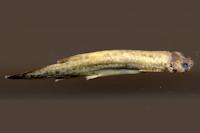 Ochmacanthus