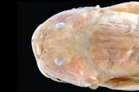 Bild 3: Trichomycterus oroyae = Pygidium oroyae, head dorsal