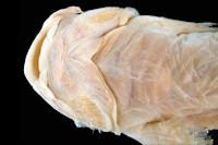 Bild 4: Trichomycterus oroyae = Pygidium oroyae, head ventral