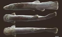 Bild 3: Trichomycterus steindachneri, holotype, MPUJ 4191, 143.5 mm SL; Colombia, Cundinamarca, Ubaque, vereda Pueblo Nuevo, quebrada El Charco, tributary of quebrada Santa Bárbara, río El Palmar system, río Orinoco basin, 04°31