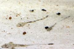 "Weißdorn-Hexenwels (Rineloricaria sp. ""Amazonien"")"