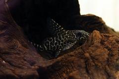 Schmuckflossen-Fiederbartwels (Synodontis eupterus (velifer))