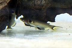 Mondfinsternis-Stachelwels (Horabagrus brachysoma)