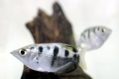 Schützenfisch (Toxotes chatareus/jaculatrix)