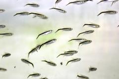 Schrägschwimmer (Thayeria boehlkei)