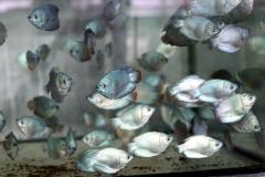 """Zwergfadenfisch """"Neon Blau"""" (Trichogaster lalius)"""