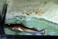 Platin-Spatelwels (Brachyplatystoma rousseauxii)