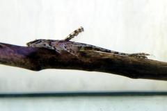 Schoko-Hexenwels (Hemiloricaria lanceolata)