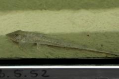 Maulbrütender Tucuman-Hexenwels (Loricaria tucumanensis)