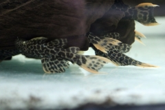 """Pseudacanthicus cf. leopardus """"L 114"""" / """"LDA 7"""""""