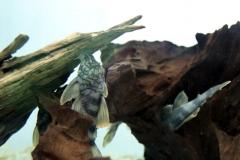 Peckoltia cf. braueri (L 121)