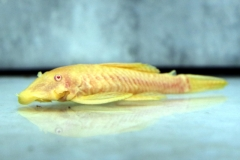 "Ancistrus sp. ""Gold"""