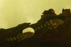 Panaqolus cf. maccus (L 448)