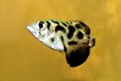 Leopard-Schützenfisch (Toxotes blythii)