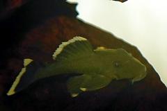 Baryancistrus chrysolomus (L 47)