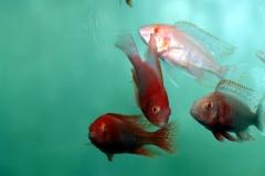 "Kaiserbarsch (Aulonocara sp. ""Fire Fish"")"