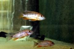 Feen-Kaiserbarsch (Aulonocara jakobfreibergi)