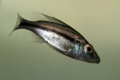 Messerbuntbarsch (Dimidiochromis compressiceps)