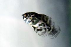 Pfauenaugenbuntbarsch (Astronotus ocellatus)