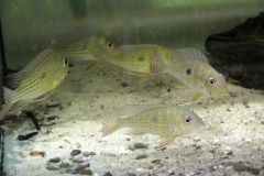 Geophagus abalios/dicrozoster