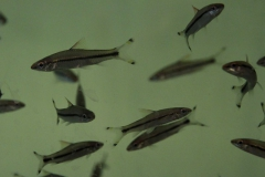 Sahyadria denisonii