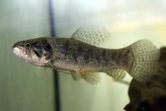 Hoplias malabaricus
