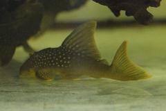Hemiancistrus subviridis (L200)
